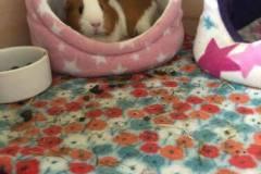 Comfy-piggie