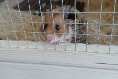 Meet-Ben-the-three-legged-hamster