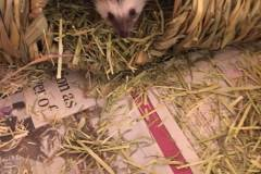Ozzy-the-pygmy-hedgehog-says-hello