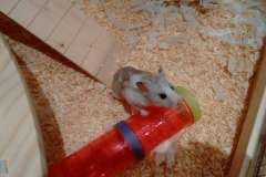 Smudge-the-hamster-saying-hello