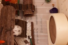 Snowy-the-hamster-investigating-her-new-home
