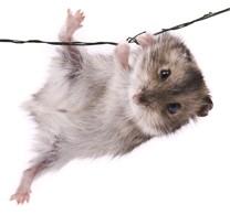 Climbing hamster small