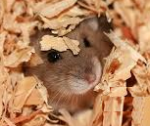 burrowing hamster cropped