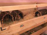 Guinea Pig Shelters